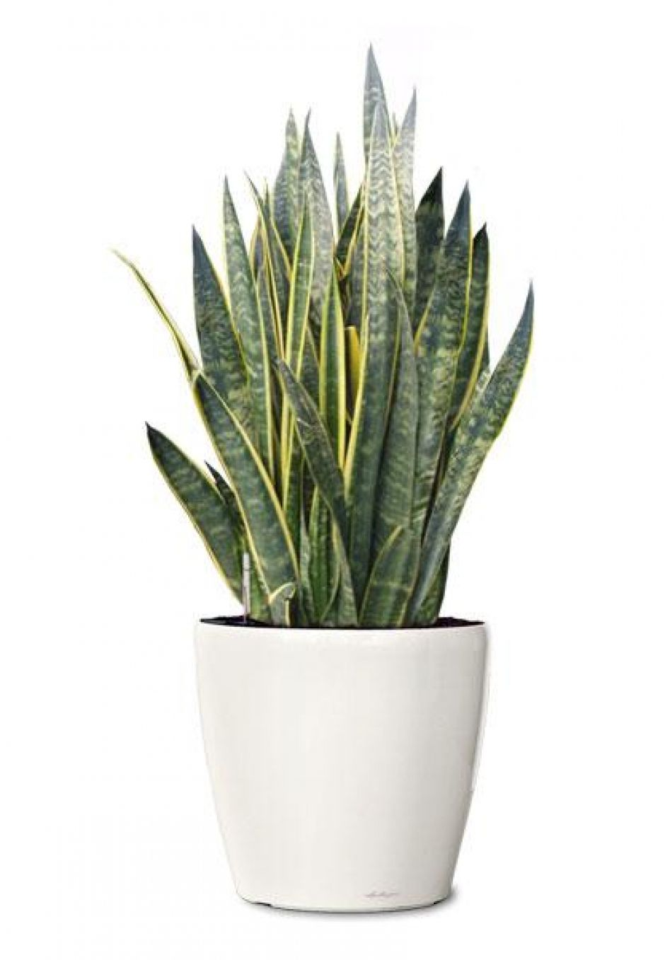 laurentii snake plant small ornamental plant sansevieria laurenti. Black Bedroom Furniture Sets. Home Design Ideas
