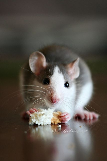 Untitled | Critters | Pet rats, Cute rats, Rats