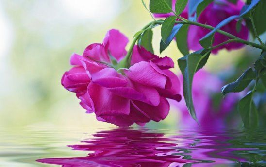 (6) Одноклассники | Розы, Розовые цветы, Фотографии цветов