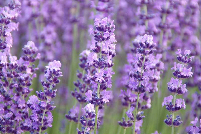 A Wonderful Accent Plant With Its Large Deep Violet Blue Flowers Atop Erect Stems That Do Not Splay En In 2020 Types Of Lavender Plants Lavender Plant Fragrant Plant