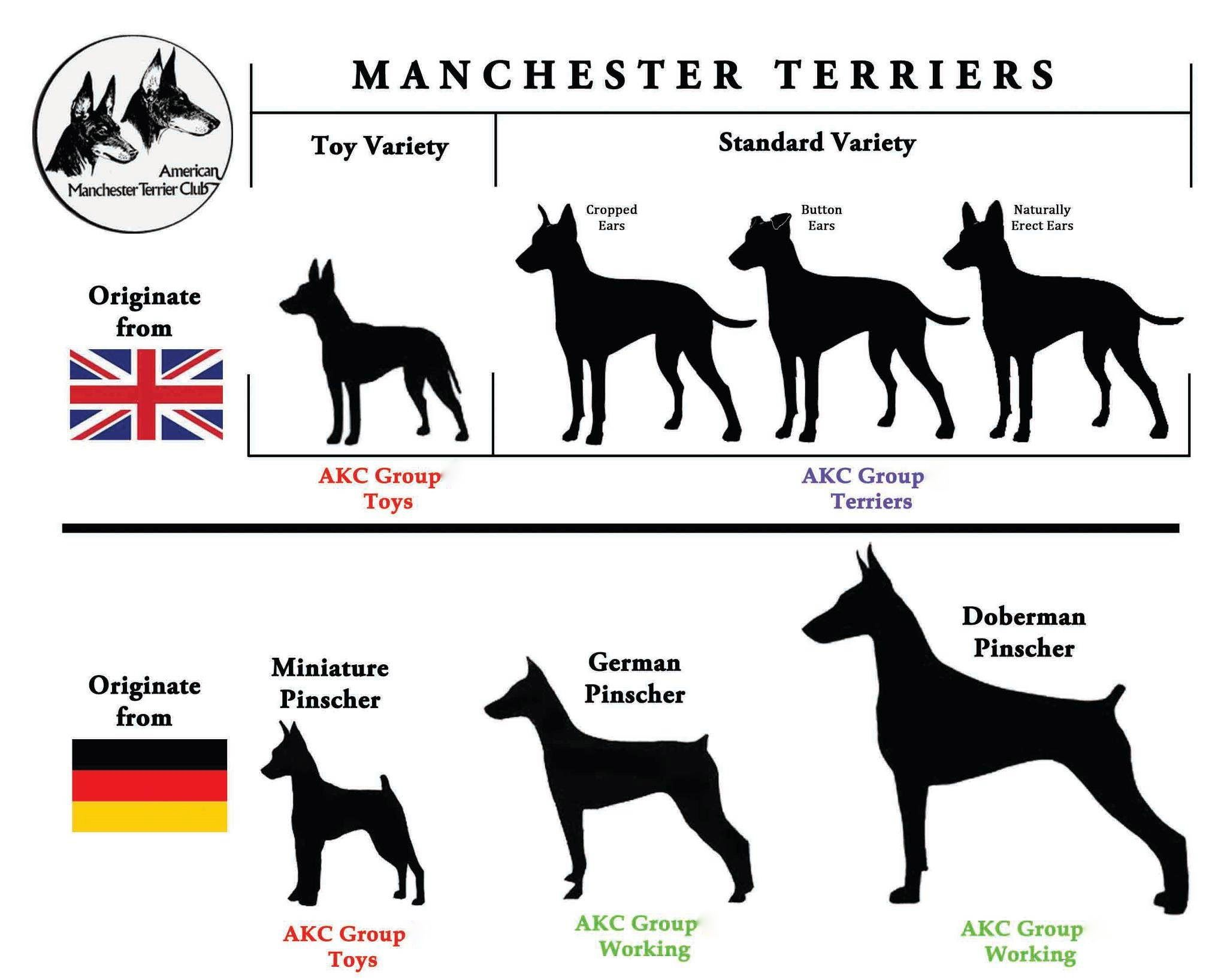 Meet The Breeds Information For The Manchester Terrier Designed