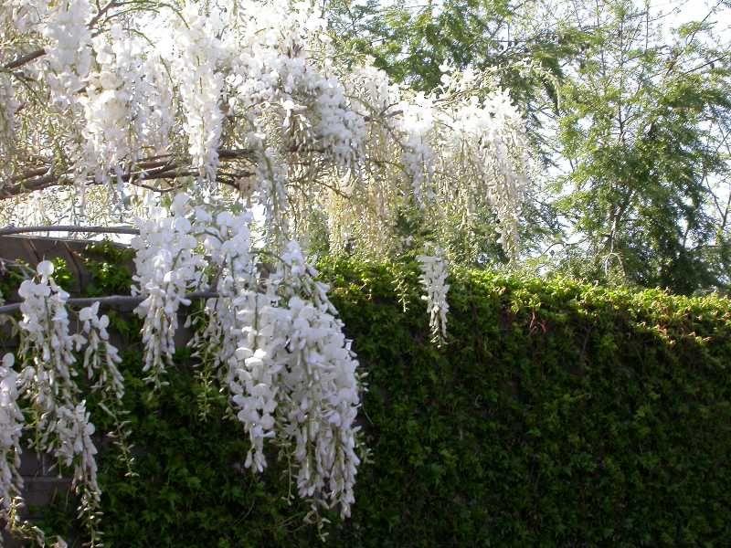 Wisteria brachybotrys shiro kapitan wisteria pinterest