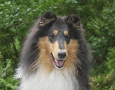 Overland Collies Quality Collies For Over 30 Years Collie