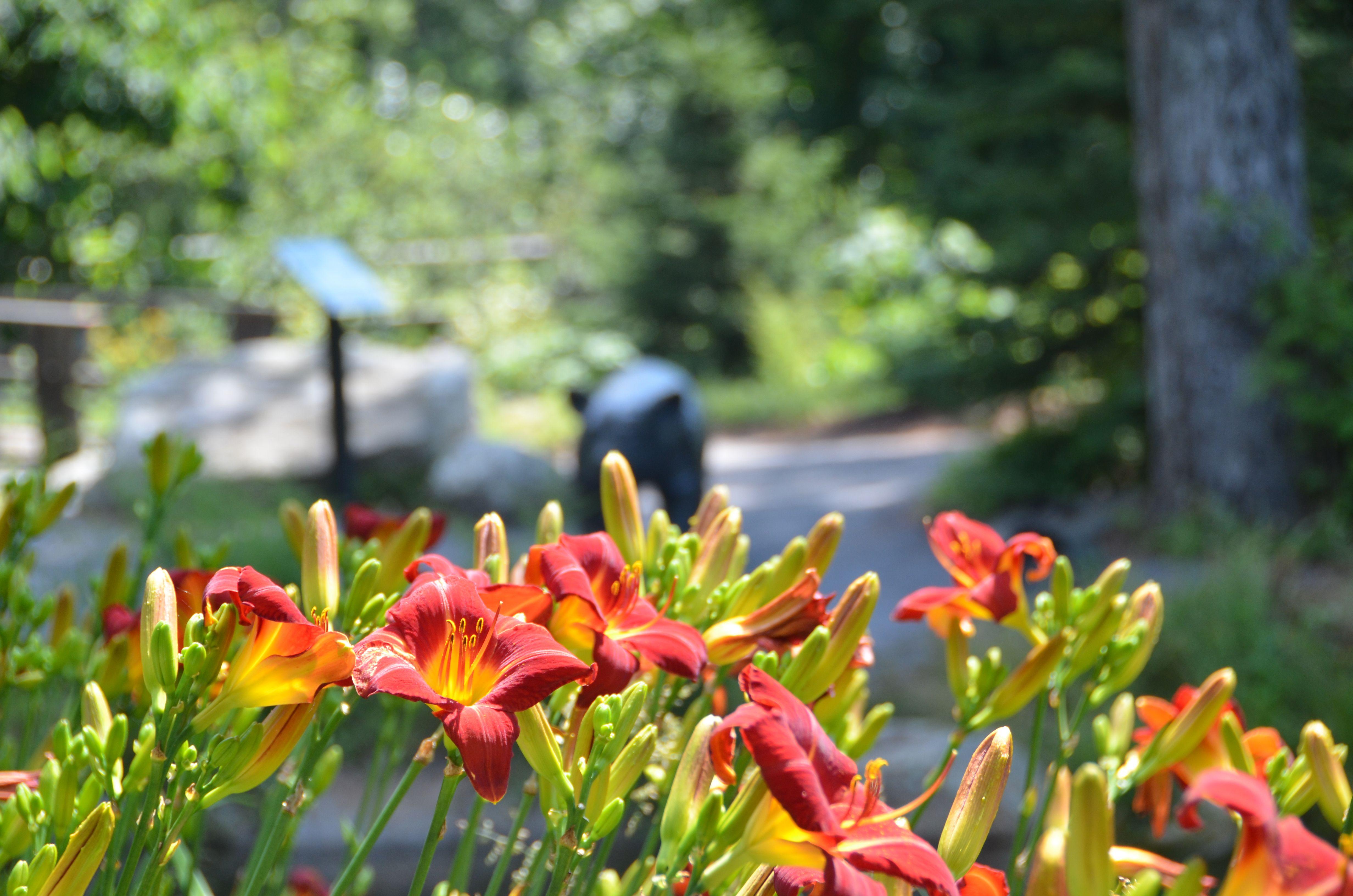 Hemerocallis 'Baja' daylilies overlooking Blueberry Pond at Coastal Maine Botanical Gardens.