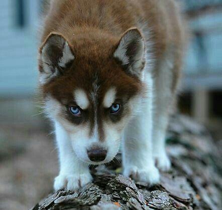 Red Siberian Husky Siberian Husky Husky Dogs Dogs