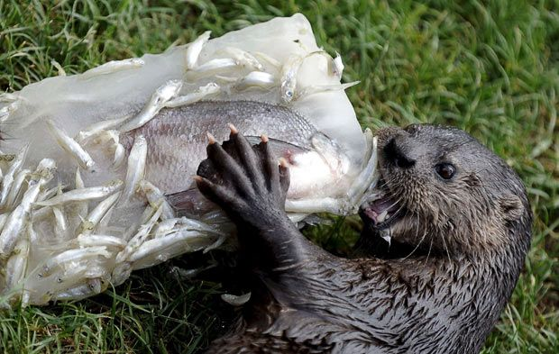 Images of fish that otters eat animals eating animals for What do wild fish eat