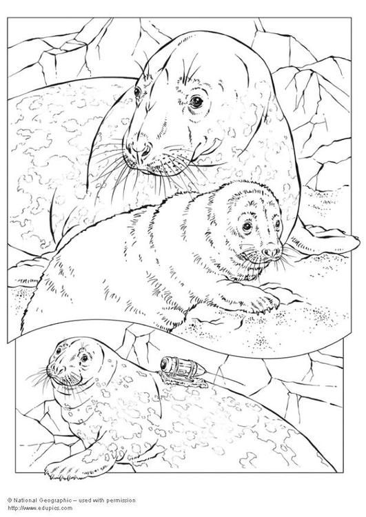 Coloring Page Grey Seal Coloring Picture Grey Seal Free