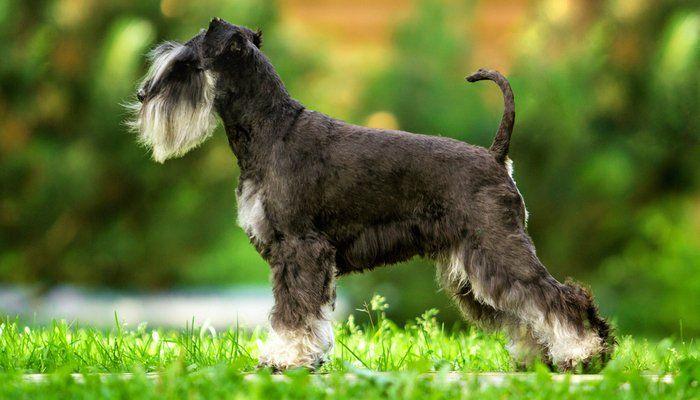 35 Non Shedding Dog Breeds Ranked In Order Miniature Schnauzer
