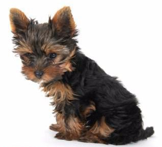 Yorkie with puppy cut