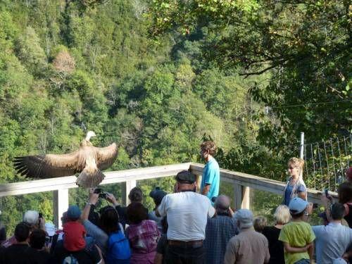 Envol de deux vautours fauves au Parc Ours à Borce