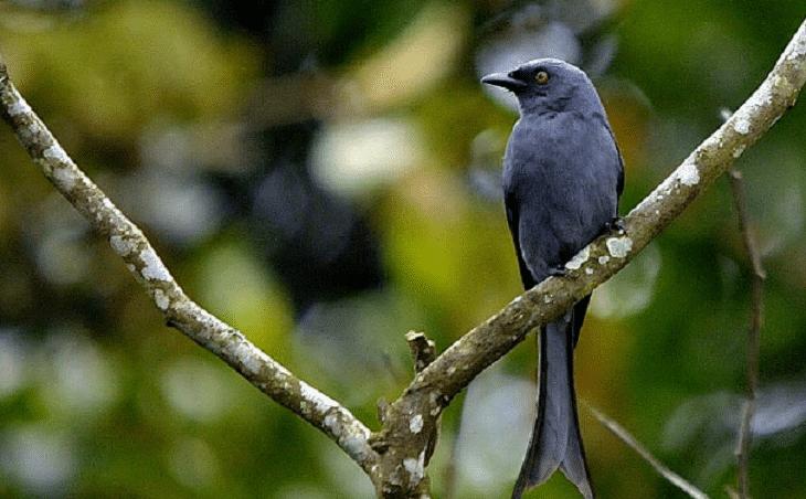 3 Jenis Burung Saeran Dan Ciri Khasnya Lengkap Burung Binatang Jenis