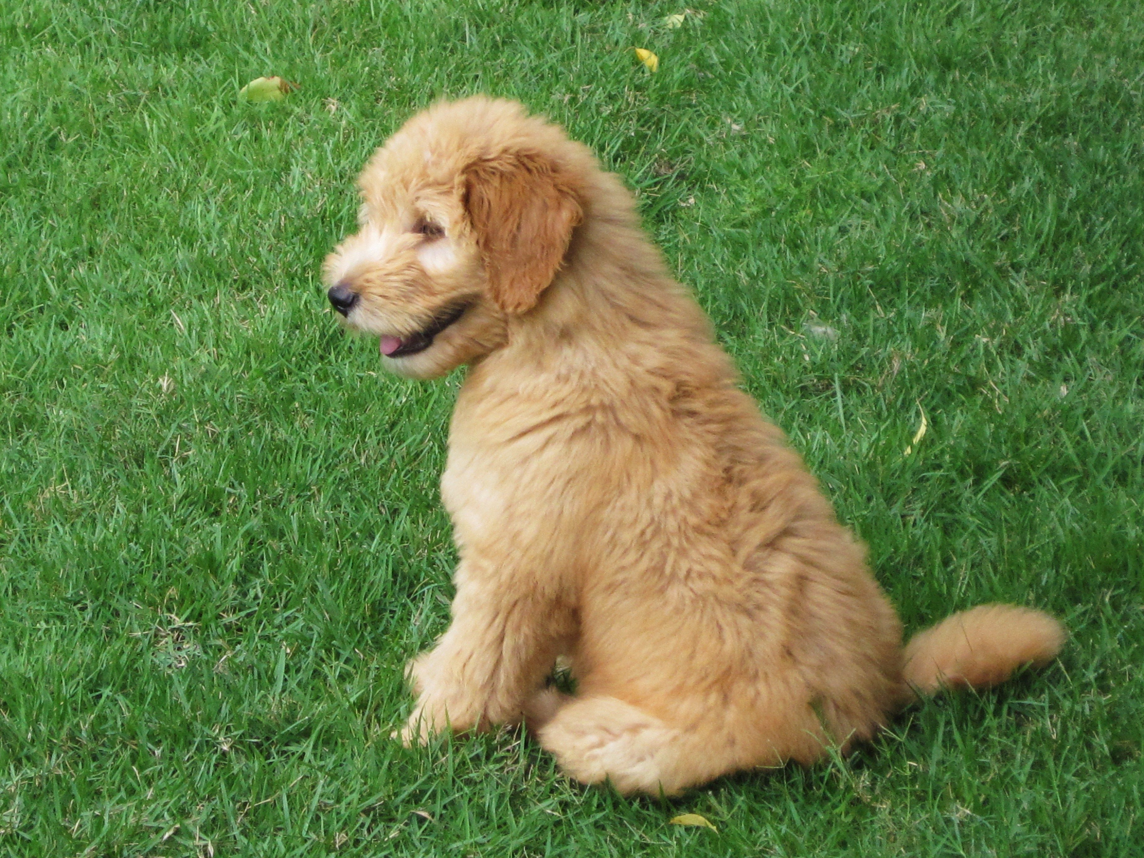Molly - our goldendoodle puppy :)
