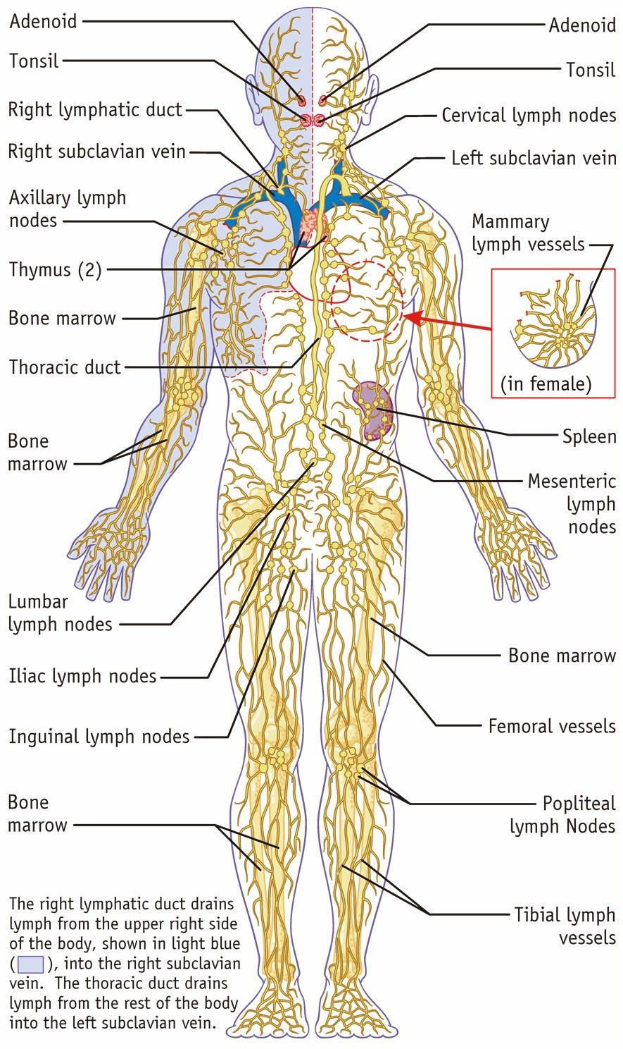 Pin On Human Anatomy Study