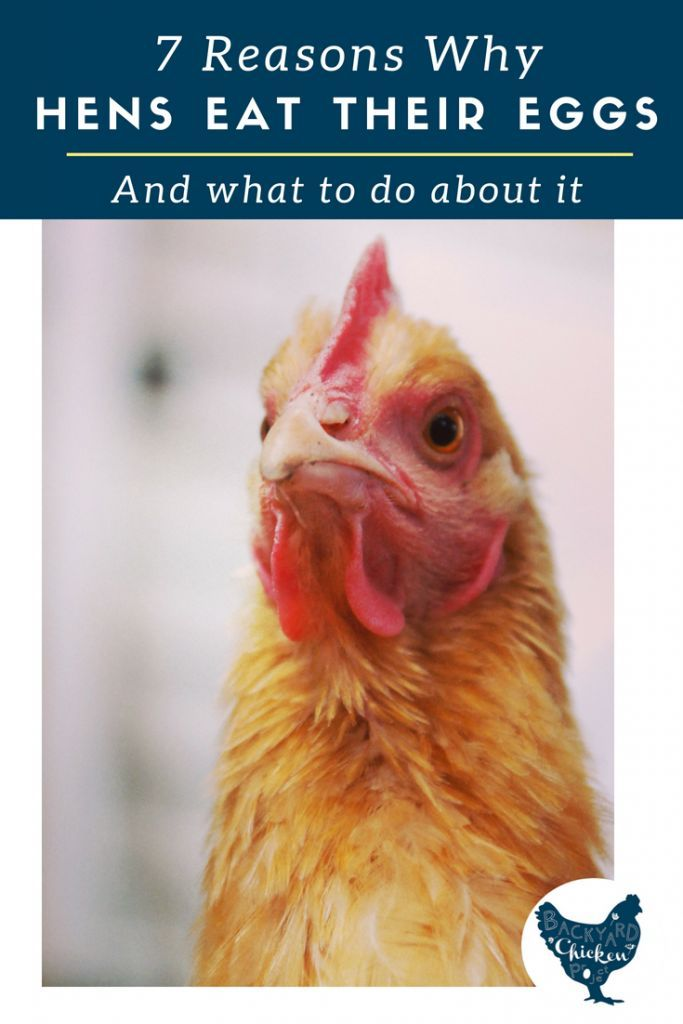 7 Reasons your Hens are Eating Their Own Eggs ...