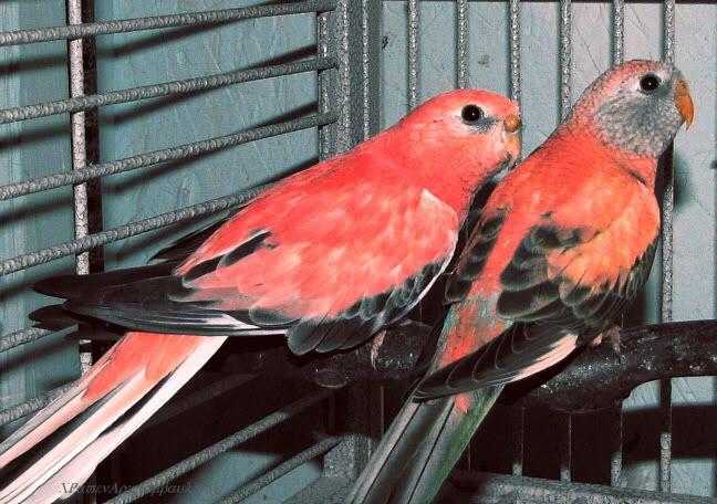 Wings Clipped Or Not Talk Budgies Forums Bird Breeds Australian Parrots Pet Birds