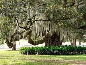 Live Oak with Spanish moss  Google Image Result for http://www.acclaimimages.com/_gallery/_images_n300/0038-0503-2514-2335_photography_live_oak_tree_with_hanging_spanish_moss.jpg