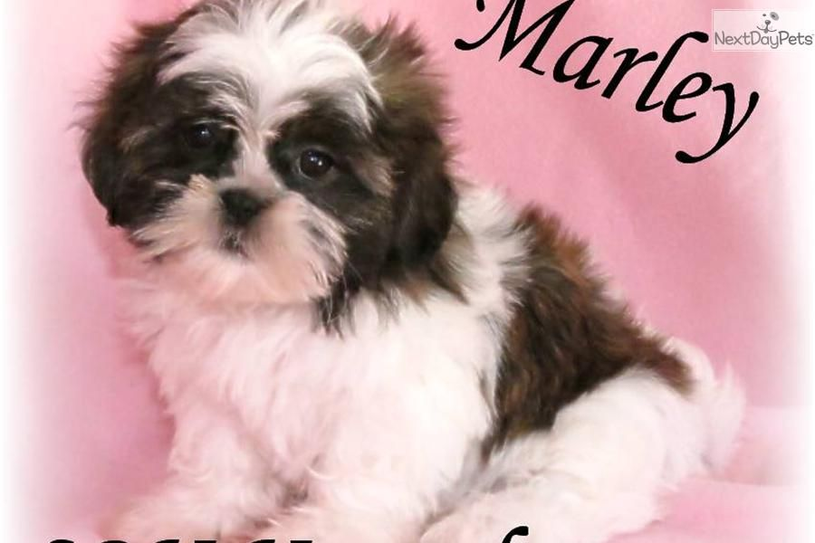 Meet Marley A Cute Shih Tzu Puppy For Sale For 400 Marley Beautiful Baby Girl Shih Tzu Puppy Shih Tzu Dog Shih Tzu