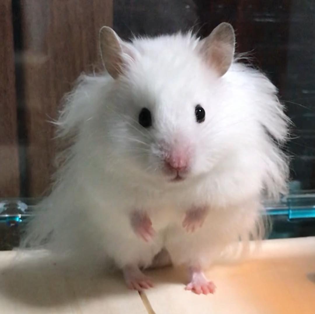 ラテ 体重測定 連投すみません 最近ぼっさぼさに 2週連続112gでしたが116gに増えていました ラテもベッドが好きみたい 乾燥豆腐食べてるとこ 6秒 ラテは回し車大好きすぎる 5秒 モカに続いて見て下さりありがとうございます かなり寒くなってきました 体調 Hamster