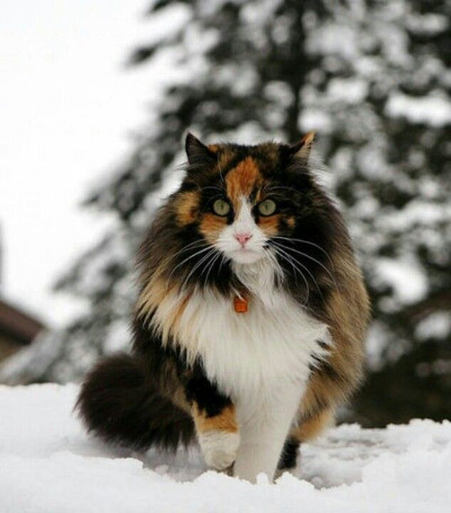 Wow. Just wow. | Cats | Pinterest | Cat, Norwegian forest ...
