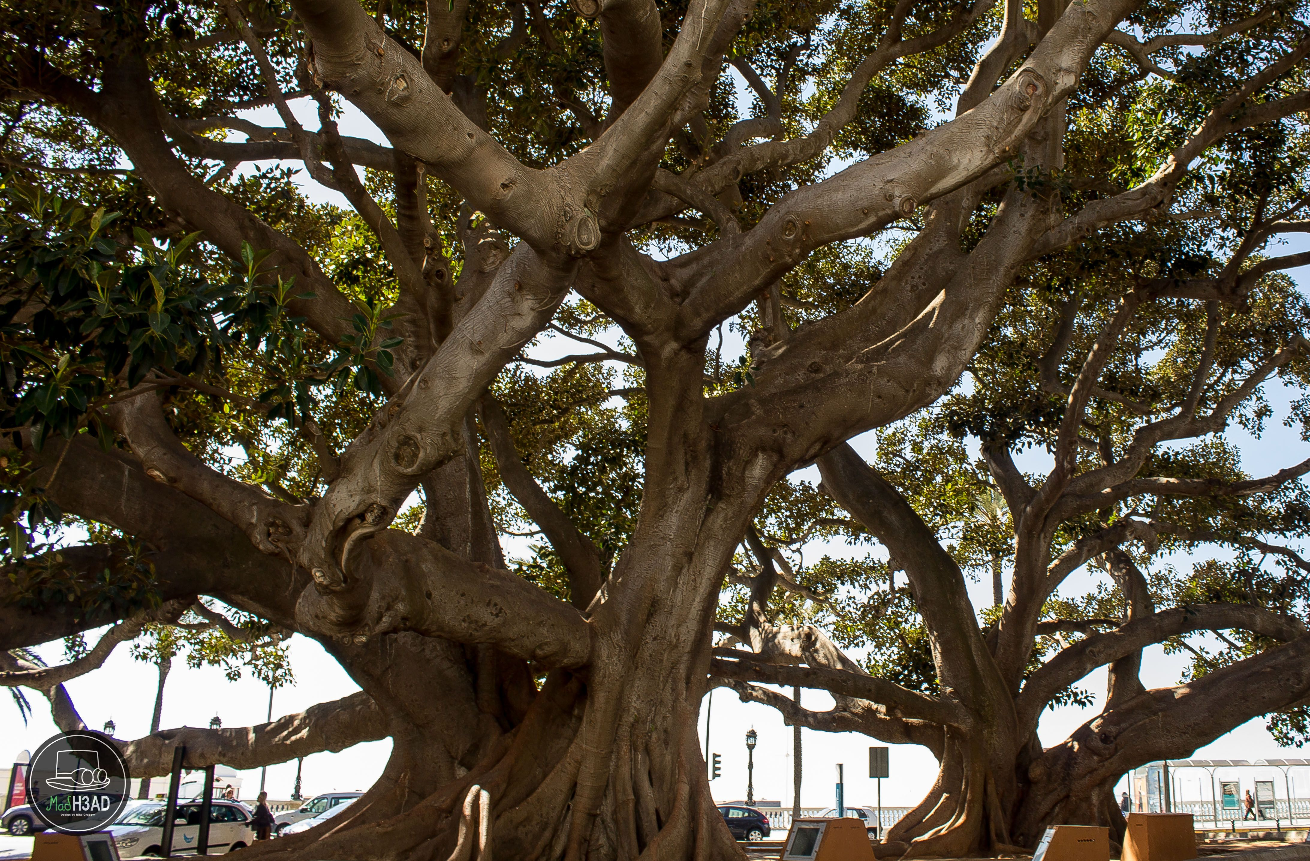 This old tree in Cadiz, Spain had/and hopefully have a epic aura