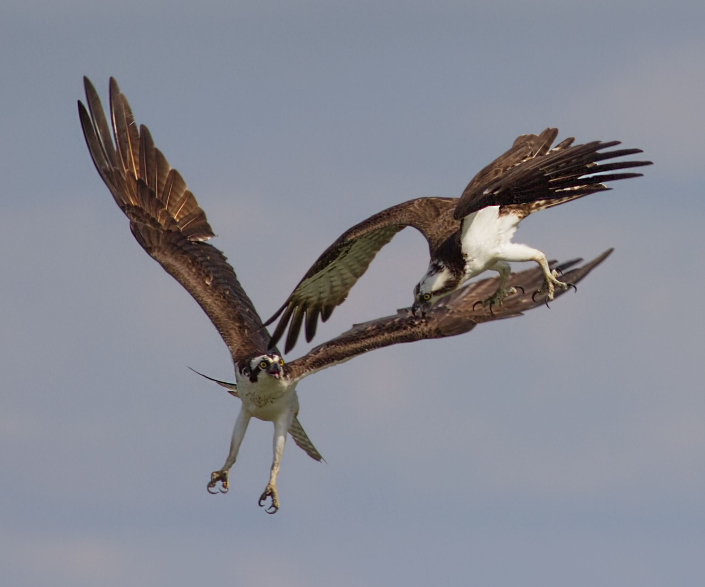 "USA: ""A female osprey the larger of the two interacts aggressively with a male intruder near her nest. I don't know if the male is challenging for mating rights trying to steal a fish from the nest or something else entirely. I do not believe that this is her mate"" writes Coleman Sheehy Jr."