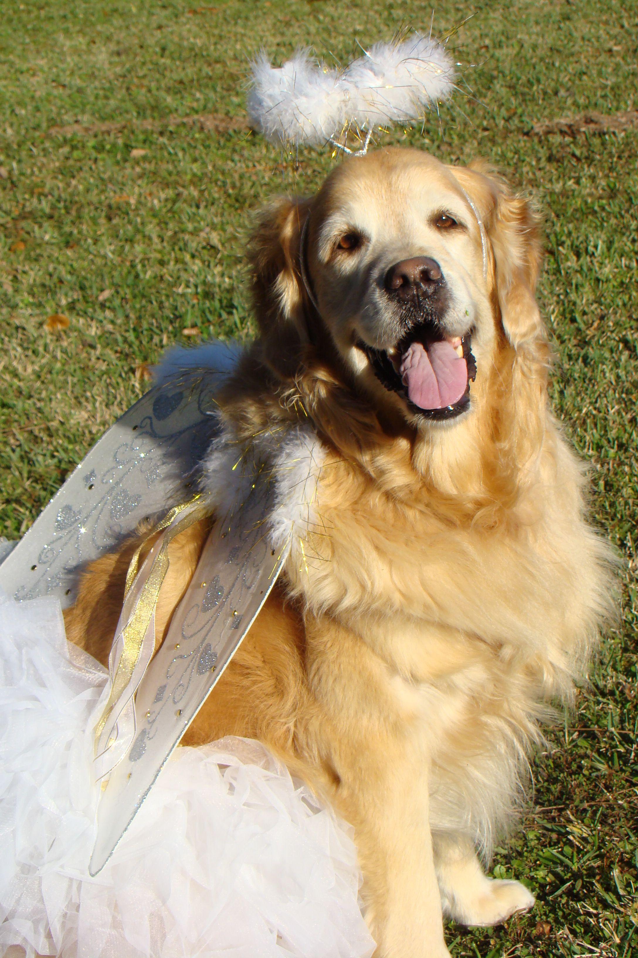 Brie Posing In Her Christmas Angel Costume Golden Retriever Dog