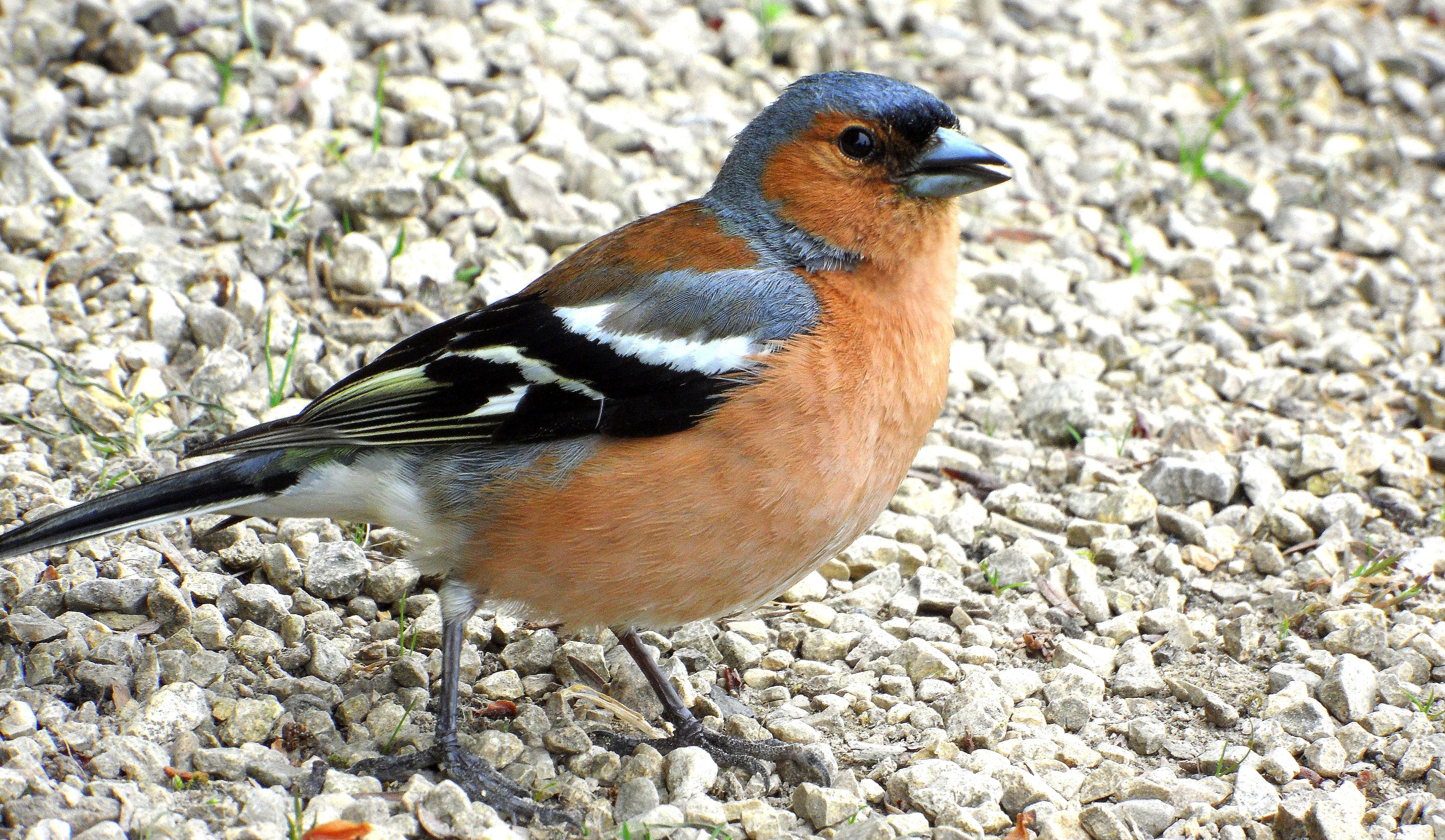 Chaffinch image by Linda Mcguire on CHAFFINCH * * Us images