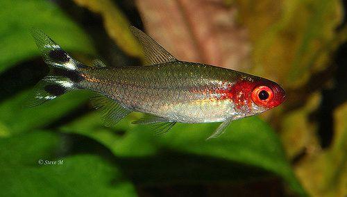 Banded Rummy Nose Tetra Aquascape Fish Pet Tetra