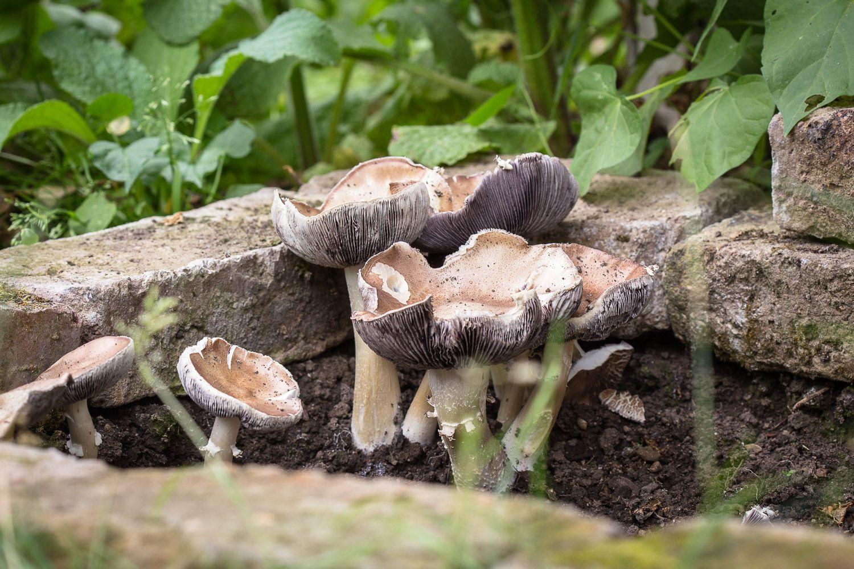 Essbare Pilze Im Garten Zuchten In 2020 Pilze Im Garten Pilze Zuchten Essbare Pilze