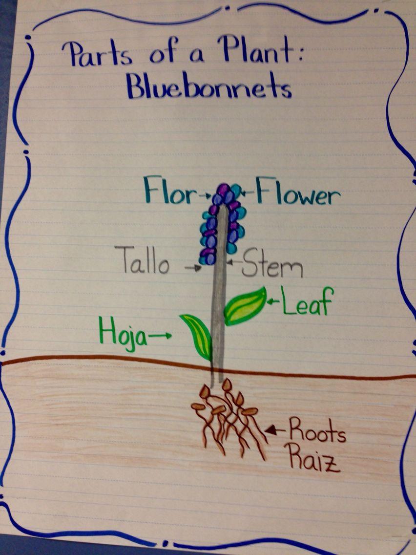 Parts of a plant. Partes de una planta. Blue bonnet. Bilingual ...
