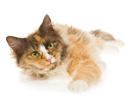 Browse Laperm Kittens For Sale Cats For Adoption Commerce