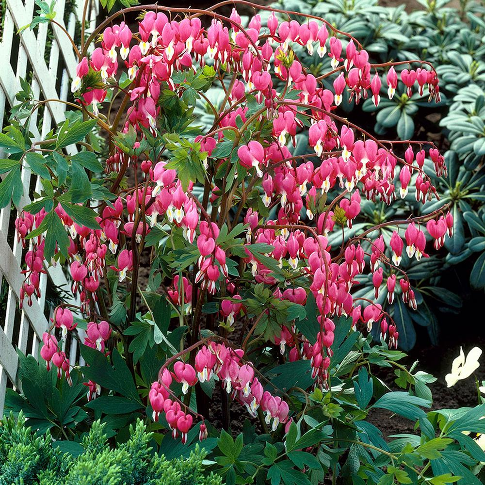 Van Zyverden Bleeding Hearts Roots 5 Set 83527 The Home Depot Bleeding Heart Bleeding Heart Flower Bleeding Heart Plant