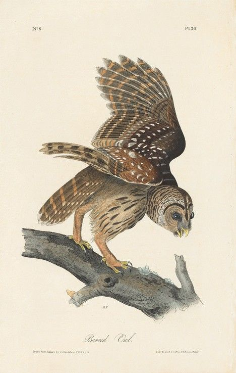 Octavo First Edition, circa 1839, Plate: 36 Barred Owl