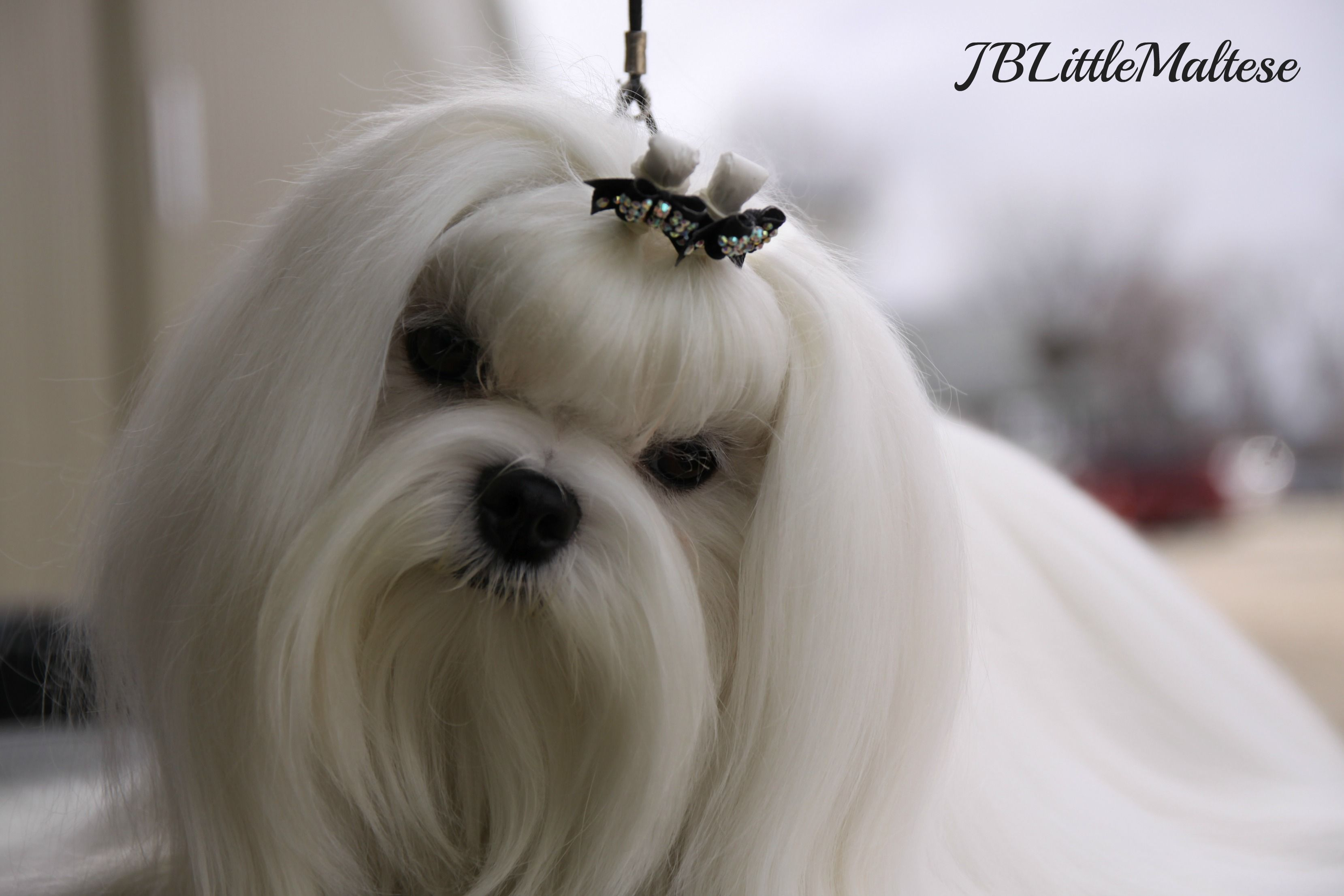 Champion Maltese Male Can Ch Amplua Bow Wow Purebred Show Maltese Of Canada At Jblittlemaltese Reg D Www J Teacup Puppies Maltese Maltese Puppy Maltese Dogs