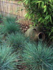Blue Fescue - Ornamental Grass