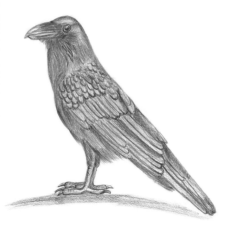Pencil Sketch Of Raven Pencil Drawing With Images Pencil
