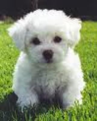 Bichon Dogs For Sale Mesa Az And Male Bichon Frise Puppies For