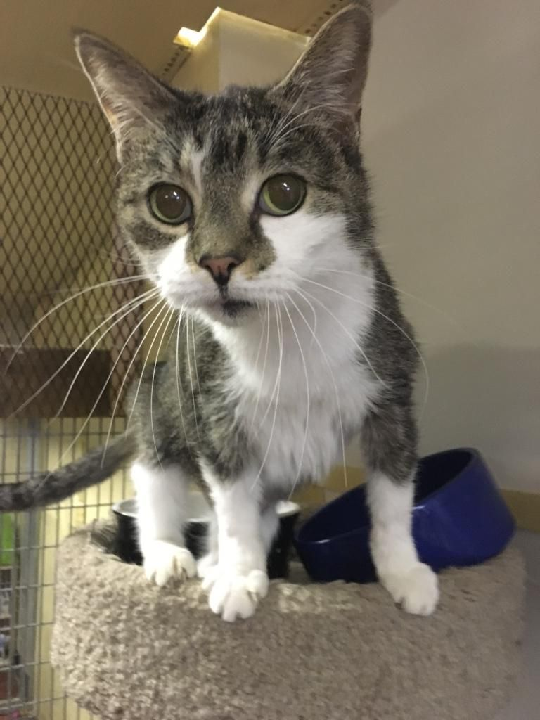 Adopt Whiskers on Petfinder Tabby brown, Tabby cat, Pets