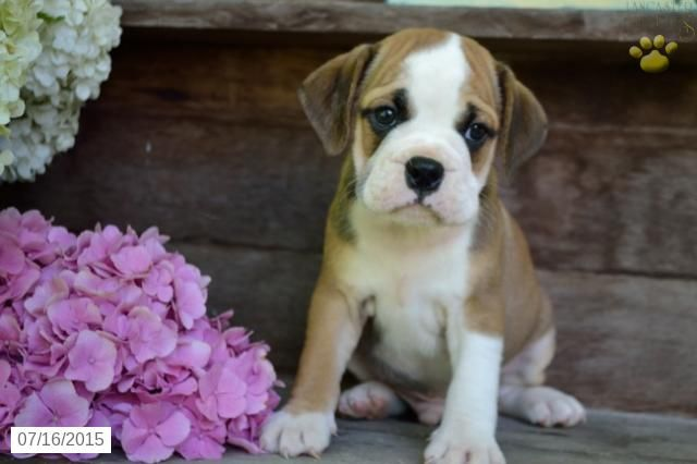 English Bulldog Puggle Puppy For Sale In Ohio Puggle Puppies For