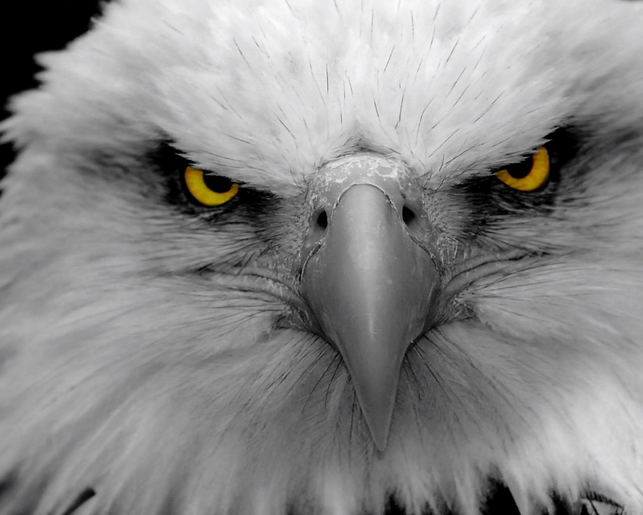 Eagle Eyes Bald American Animals Birds 1548226 Animais