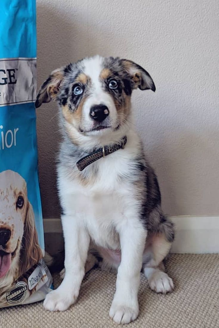 Border Collie fans you are Look at this puppy