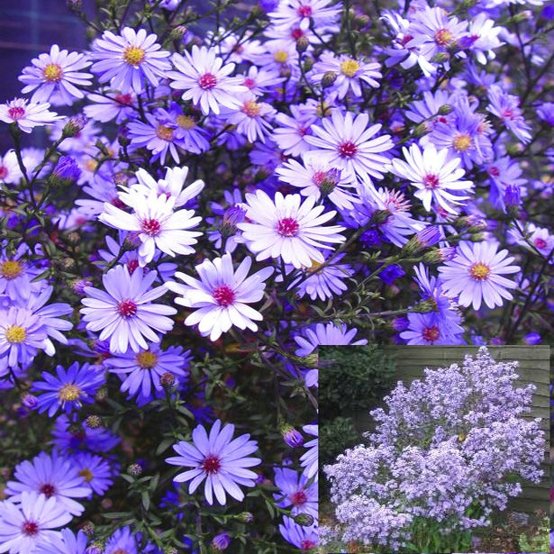 Asters   Plant images, Plants, Aster