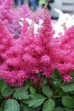 Heavy Metal Fluffy Astilbe Grows To 24 To 36 H Bloom Time Late Spring To Mid Summer Perennial Pa Spring Hill Nursery Spring Blooms Vibrant Flower