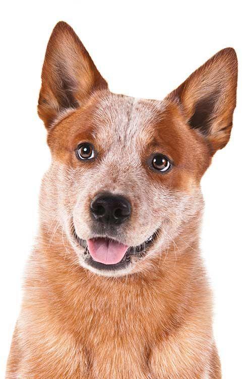 Australian Cattle Dog Dog Breed Information Australian