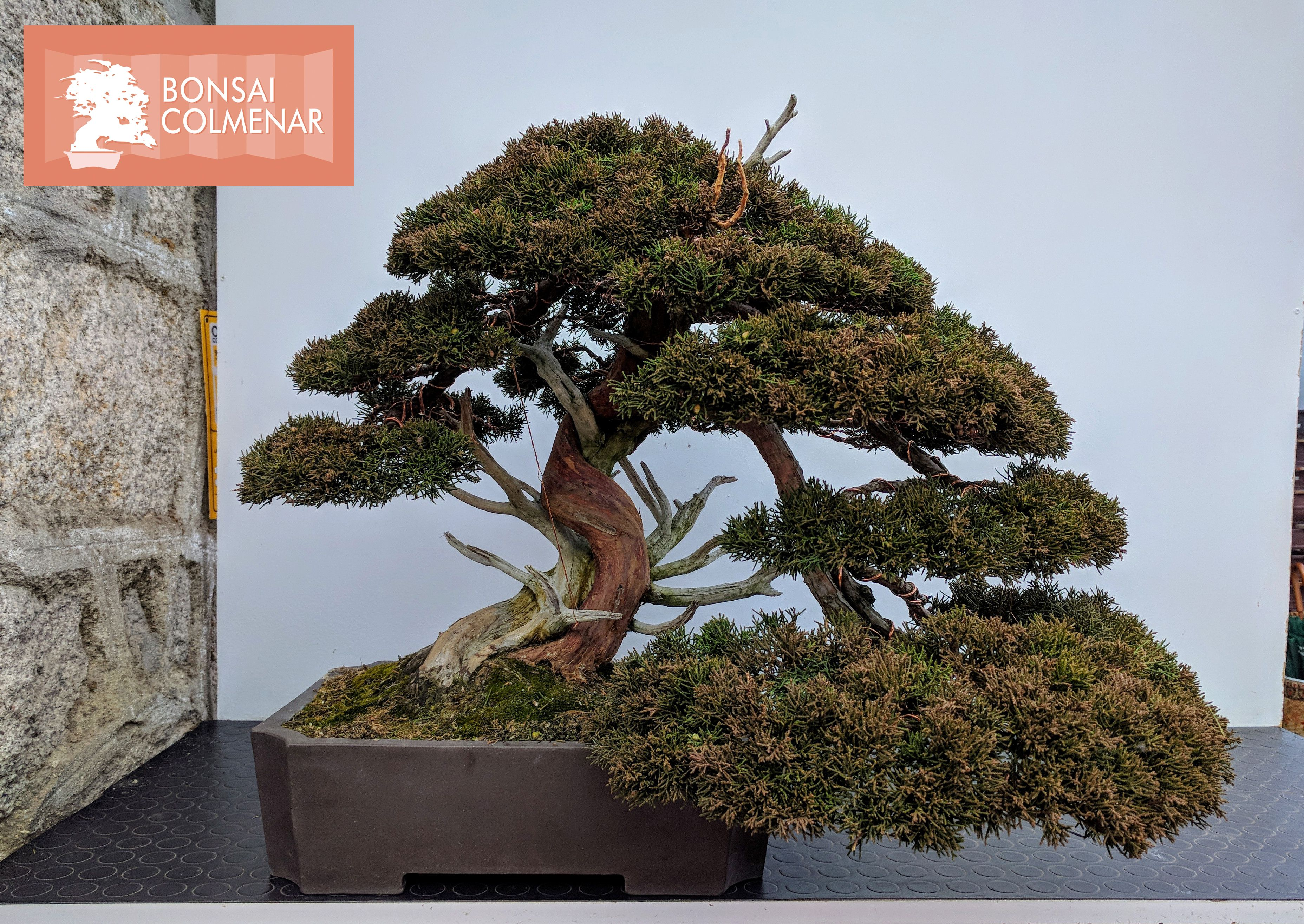 Juníperus Chinensis Bonsai Colmenar Tienda Y Escuela De Bonsai Bonsai Diseños De árbol Bonsais