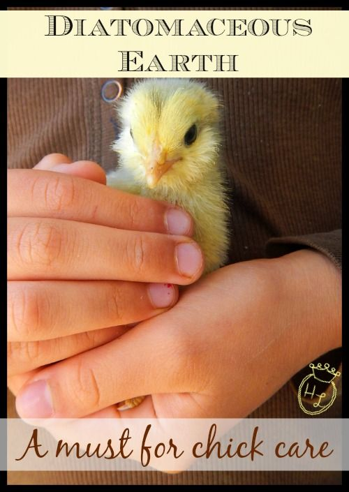 Diatomaceous Earth l A Must for Chick Care l Homestead Lady (.com)