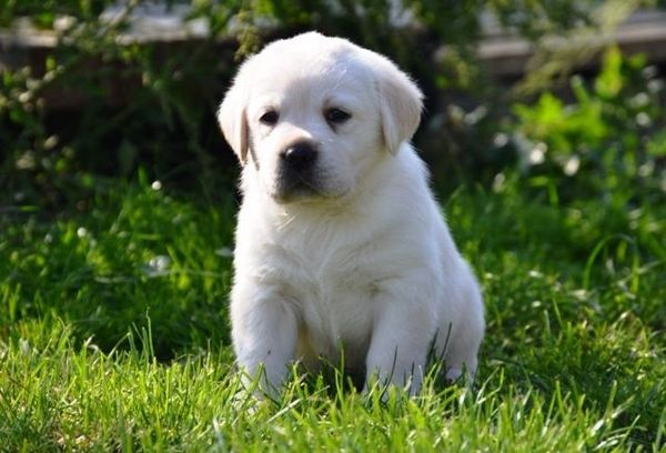 Donne Superbe Petit Chiot Type Labrador Retriever Non Lof Chiot Nee Le 14 03 2016 4 Chiots Dans La Portee Dont 2 Males Et 2 Femelles Le Chiot Chien Labrador