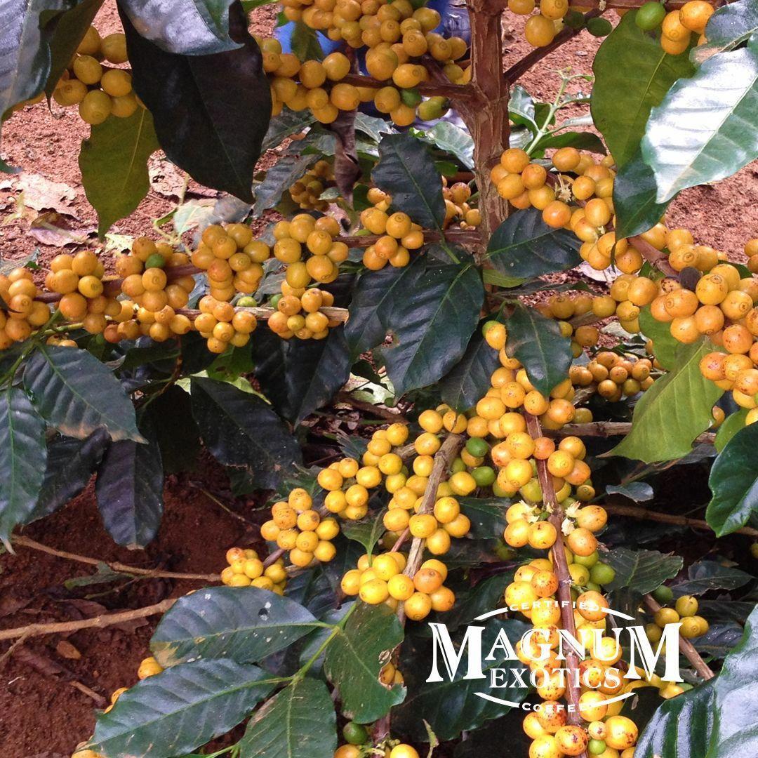 Yellow arabica Coffee Cherries Kopi