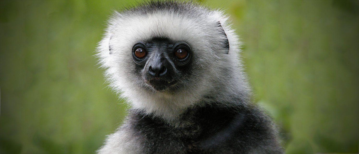 Image result for lemur species Endangered species, Weird