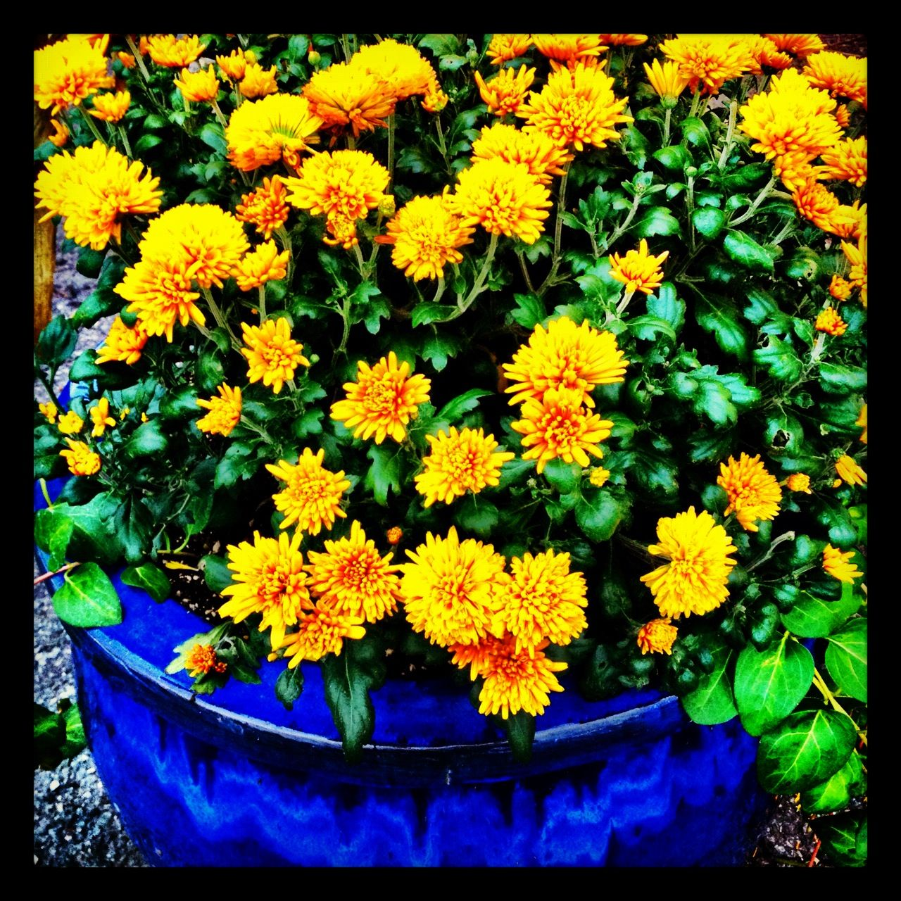 Bright yellow mums in a huge colbalt blue flower pot. Excellent ...